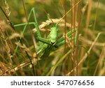Predatory Bush Cricket  Or The...