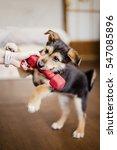 little puppy pulling dumbbell | Shutterstock . vector #547085896