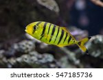Golden Trevally  Gnathanodon...