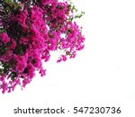 Pink Bougainvillea Flower...