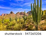 Blooming Saguaros In Sonoran...