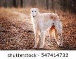 White Russian Wolfhound Dog ...