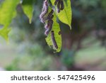 caterpillar on the olive tree