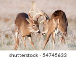 Two White Tailed Bucks Sparrin...