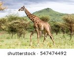 giraffe walking in the bush... | Shutterstock . vector #547474492