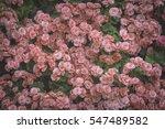 Pink Begonias  Begonia Tuber...