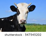 Head Of The Calf Against A...