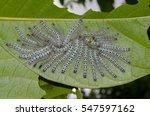 A Group Of Moth Caterpillars O...