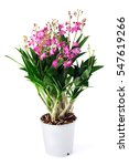 Small photo of Dendrobium Berry Oda orchid on white isolated background.