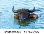 Buffalo  Buffalo Swimming.