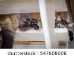 brown sad cat tabby maine coon... | Shutterstock . vector #547808008