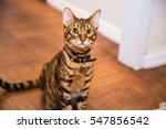Stock photo gorgeous orange striped toyger kitten sitting on wood floor tiger cat with collar in living room 547856542