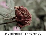 Withered Rose Closeup