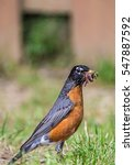 Small photo of American Robin with a mouth full of worms / Over achiever