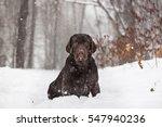Labrador  Dog Playing In Snow...