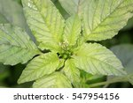 Small photo of Amaranthus lividusï¼?a kind of wild vegetables