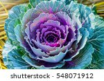 Purple Cabbage Flower...