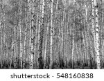 birch forest background  black... | Shutterstock . vector #548160838