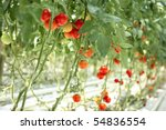 Tomatoes On The Branches In Th...