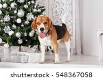beautiful beagle dog stands... | Shutterstock . vector #548367058