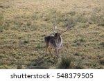 Beautiful Fallow Deer With Long ...