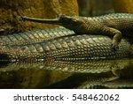Gharial  Gavial  Fish Eating...