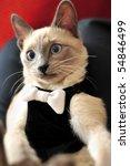 A Blue Point Siamese Cat In A...