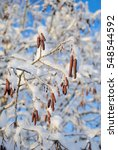 Small photo of The branch alder (Alnus serrulata) under snow on a cold day