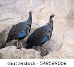 Vulturine Guineafowl  ...