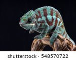 blue panther chameleon isolated ...   Shutterstock . vector #548570722