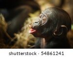 Cute Baby Bonobo Monkey  Pan...