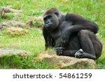 Close Up Of A Big Female Gorilla