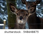 Close Up Of Young Deer With Sa...