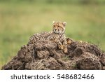 Cheetah Cub Lying On A Hill