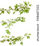 currant bush branch isolated on ... | Shutterstock . vector #548687332