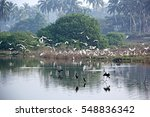 Flock Of Migratory Heron And...