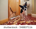 Stock photo a tiny boston terrier puppy chews a hole in the bathroom door in an attempt to escape 548837116
