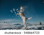 Jumping Fox Terrier Enjoying...