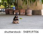 Black Miniature Pinscher...