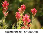 Group Of Indian Paintbrush In A ...