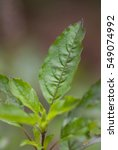 fresh green basil herb... | Shutterstock . vector #549074992