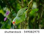 Red Lored Parrot  Amazona...