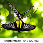 Two Large Butterflies Are...