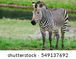A Grevy's Zebra Stands In A...