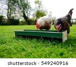 pair of domestic bantam chicken ... | Shutterstock . vector #549240916