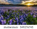 Texas Bluebonnet Field At...