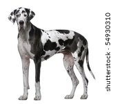 Great Dane  5 Years Old ...