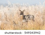 White Tailed Deer Doe In A...
