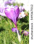 Plain Purple Crocus In Early...