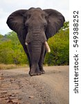 Small photo of African elephant with a broken tusk